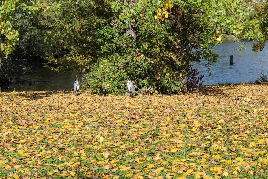 Reiher am Max-Eyth-See Herbst